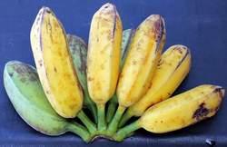 Homegrown Sweet Florida Bananas