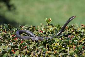 Snake in the hedge