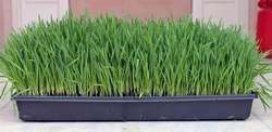 wheatgrass we grew